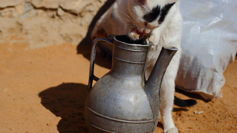 A white kitten dips its paws into a steel water jug and licks it.