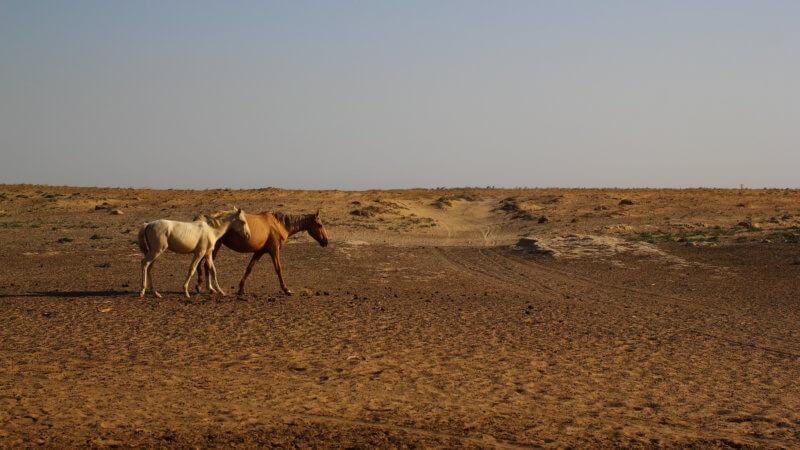 Two young horses walking through a sandy Uzbek desert.