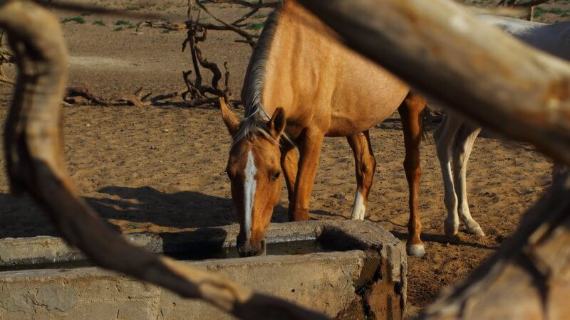 Desert horses drinking from a water trough.