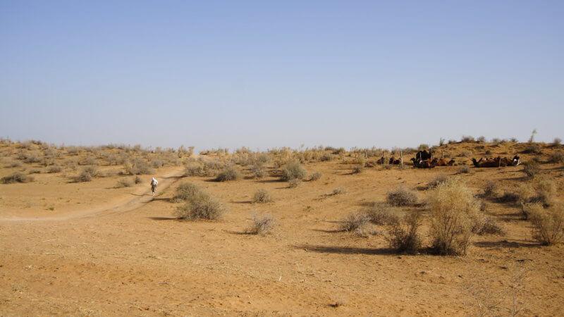 A far shot of a desert runner descending a sand dune next to Kyzyl Kum camels.