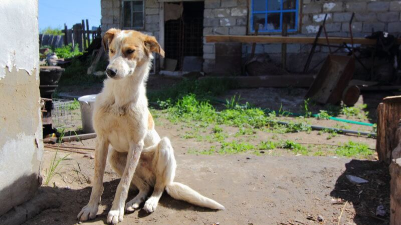 A white and khakhi coloured dog stretches out in a farm yard.