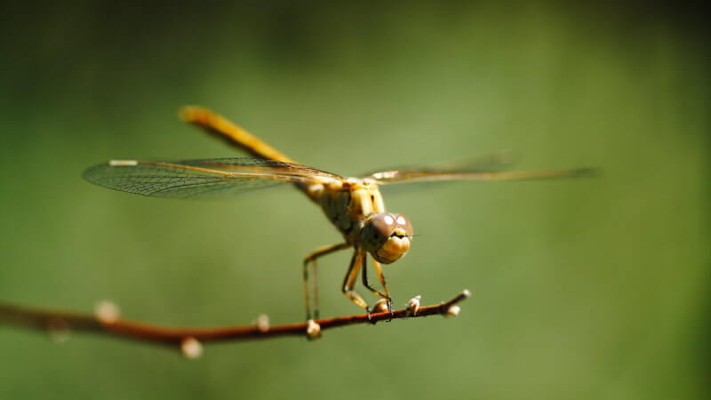 A closeup photograph of a dragon fly in Kazakhstan sat on a twig.