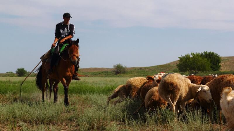 A teenager riding on horseback brandishing a whip to usher his sheep.