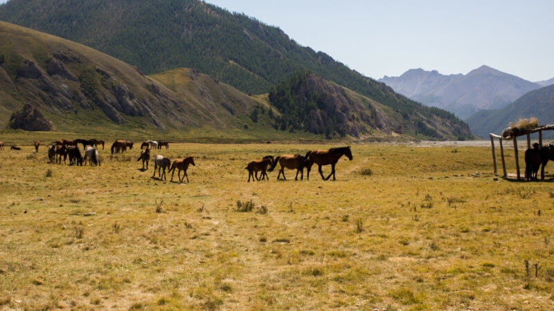 A herd of horses walking through a grassy plateau next to the Sayan Mountains in Tuva.