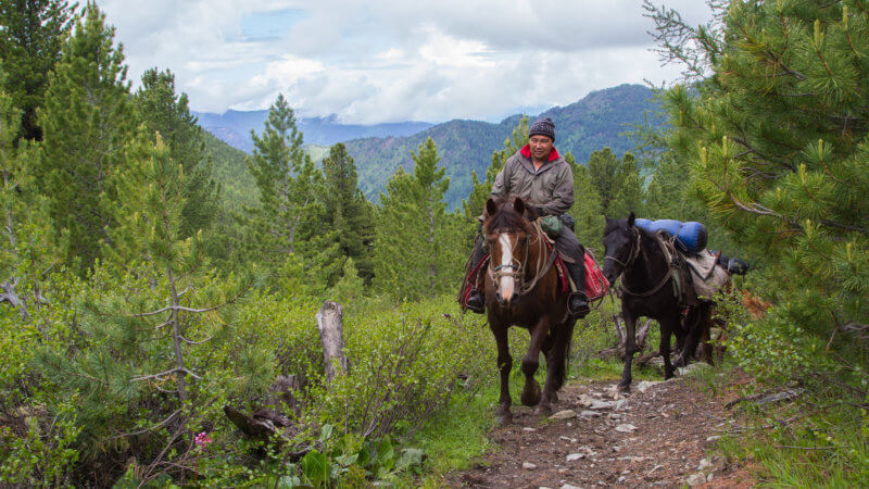 An Altai man rides on a horse, towing a chain of pack horses behind him through a pine forest.