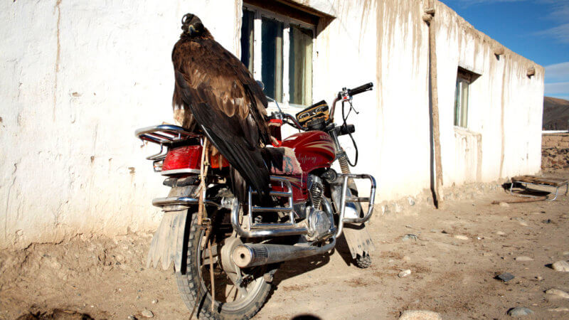 An eagle with a hood on its head, sat on the back of a motorcycle in the sun.