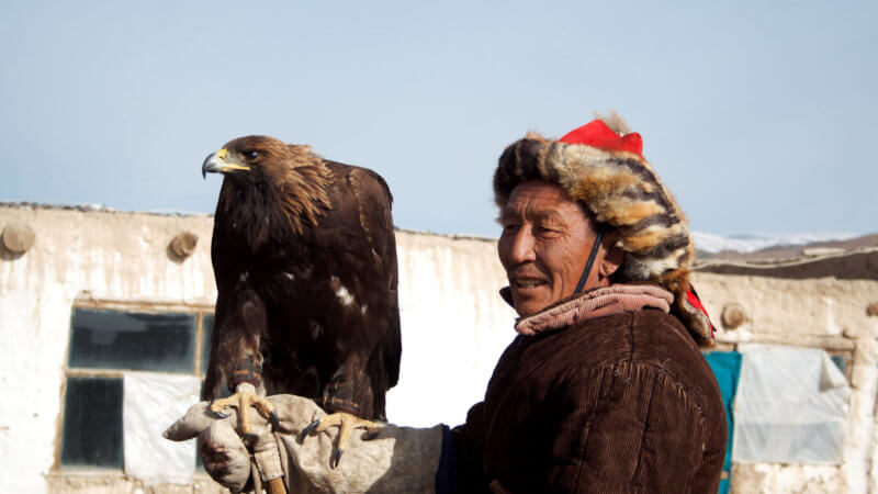 An older Mongolian-Kazakh eagle hunter holds his eagle on top of his gloved hand.