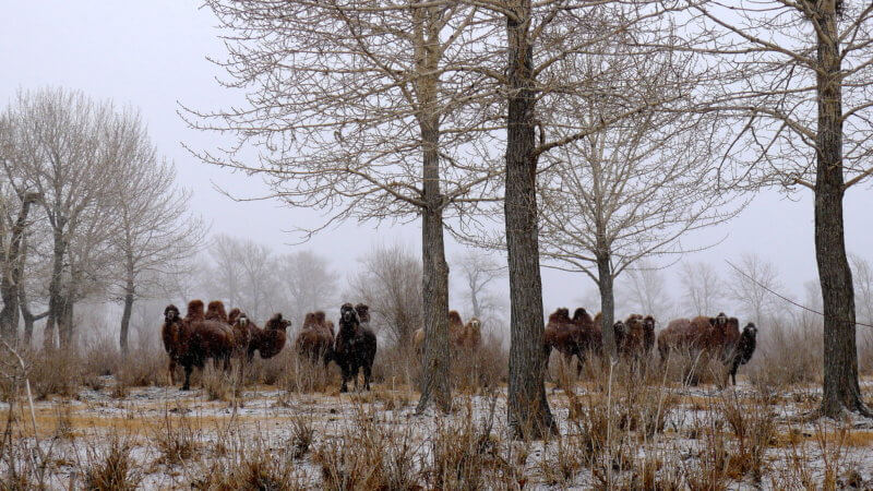 Mongolian Bactrian camels in a forest in winter with snow on the ground.