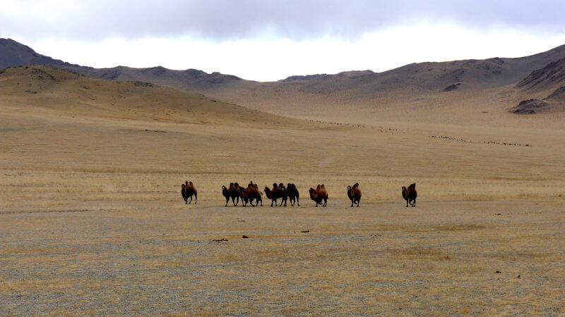 A herd of camels walking across a barren stretch of Mongolian steppe.