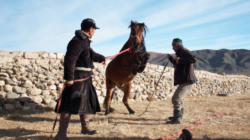 Two Kazakh guys trying to control a wildly kicking horse whose front legs are tied.