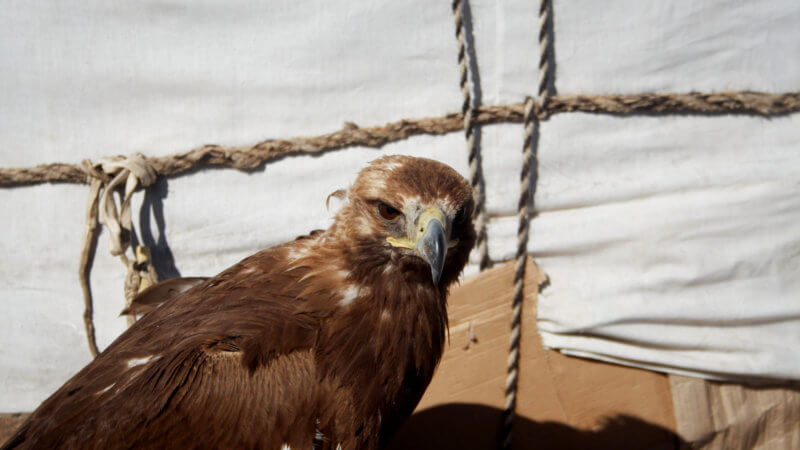 A close up photograph of a serious looking brown eagle in front of a yurt.