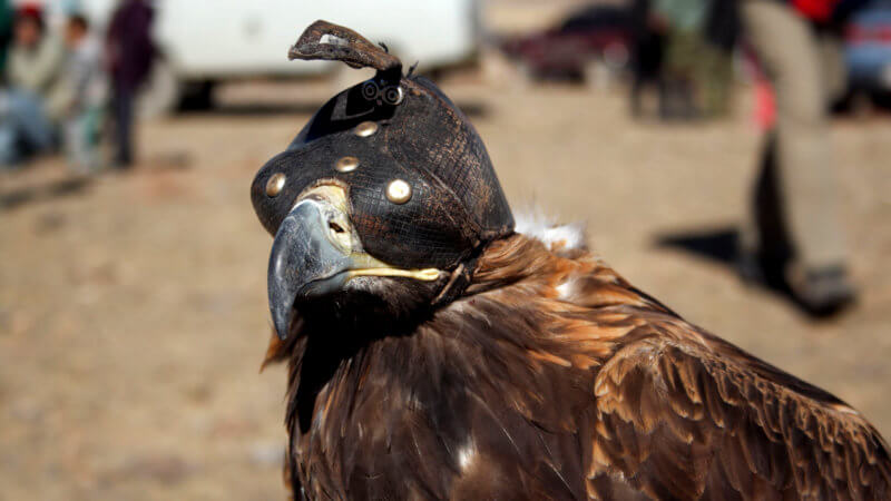 An eagle hunting eagle with a hood over its eyes to keep it calm.