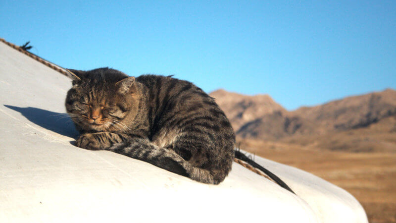 A cat curled up on top of a yurt roof and sleeping in the sun.