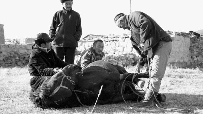 Black and white photo of Kazakh horse men in Western Mongolia shodding a horse.
