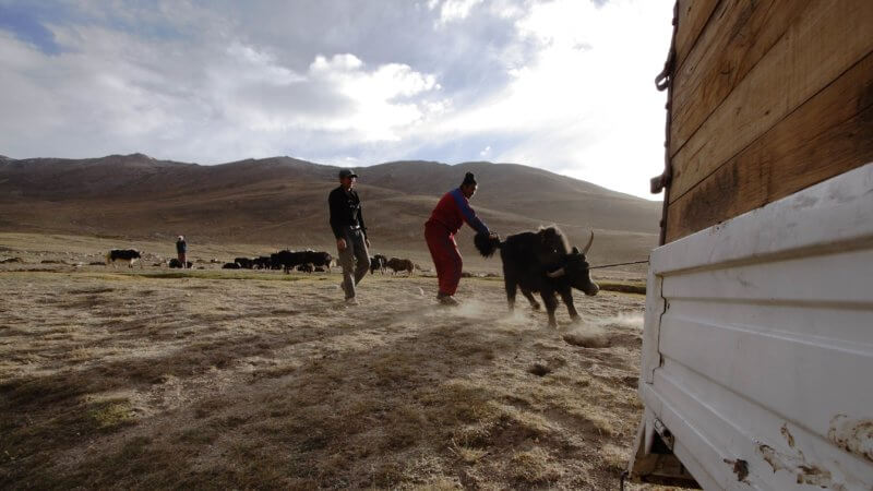 A yak with rope looped around its horns puts up a fight as its pulled towards a truck.