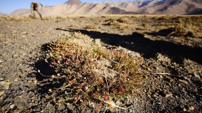 Close-up photo of teresken shrub, used for firewood, poking out of the dry earth with little red flowers.