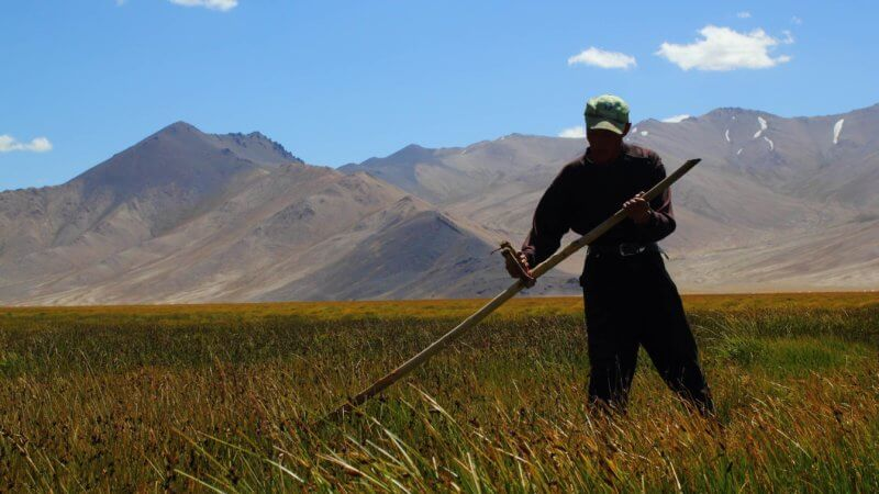 A man scythes tall green grass on the Alichur Plains.