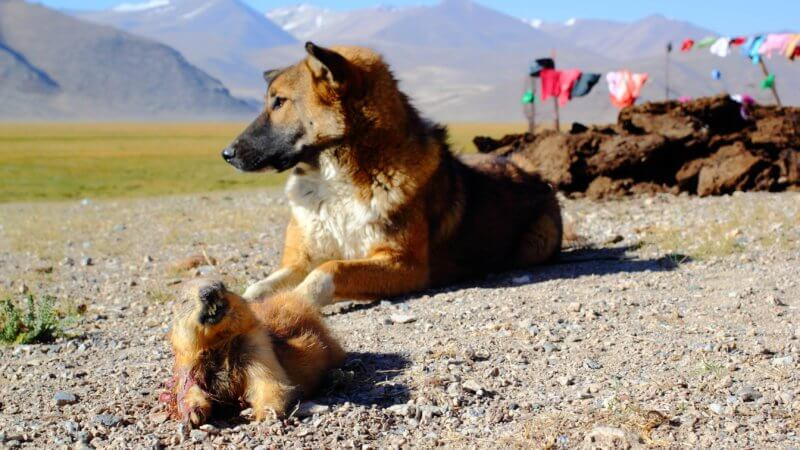 A young dog sits in front of a dead marmot.