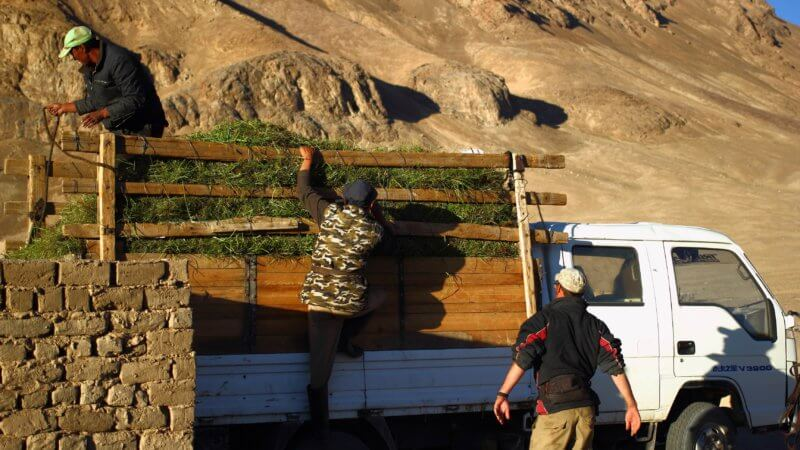 Three men clamber up the side of a truck laden with cut grass.