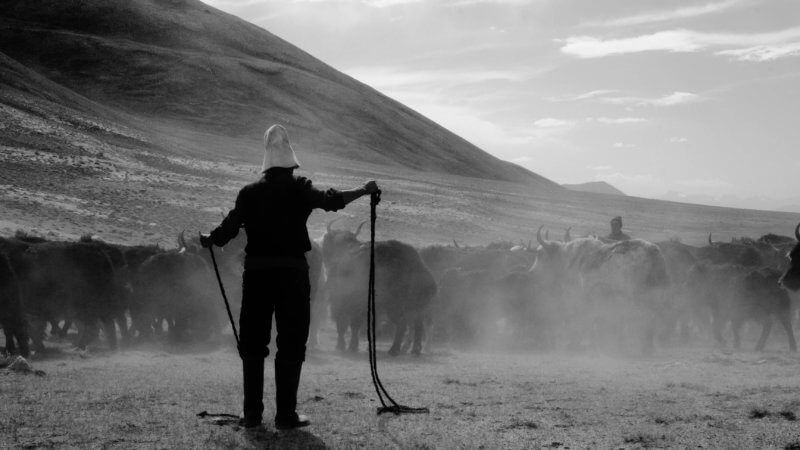 Black and white image of a Kyrgyz herder surrounded by dust and yaks, measuring his lasso rope.