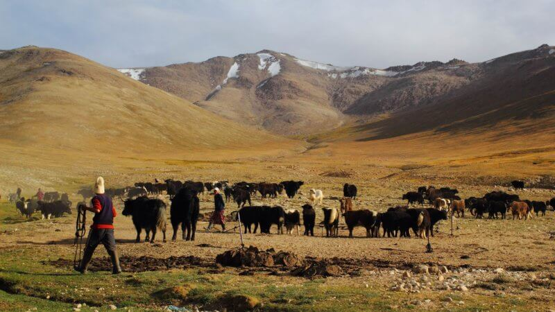 A Kyrgyz herder holding a lasso walks towards a large herd of Pamir yaks.