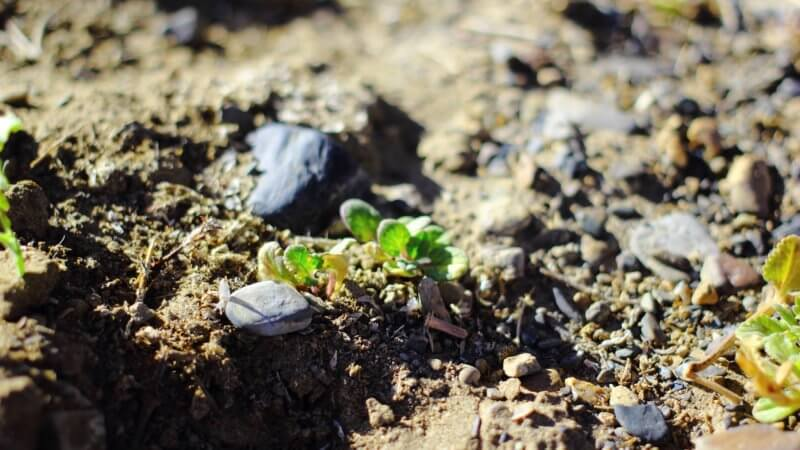 Small shoots of green tea leaves poking out of the dry soil.