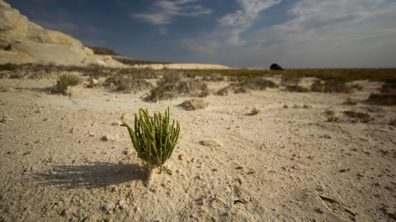 A tiny green plant pokes out of the white, chalky desert earth.