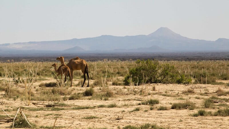 A mother and baby camel walking through the sahel with a volcano in the background.