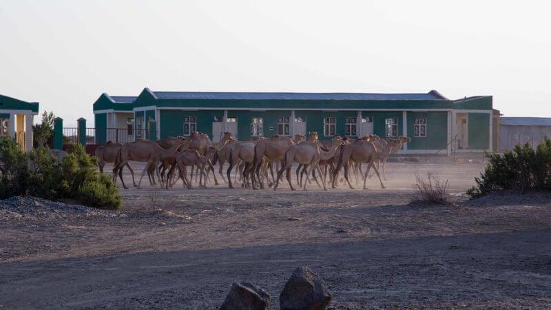 A herd of camels walk past a school in Ksrawat, Danakil Depression.