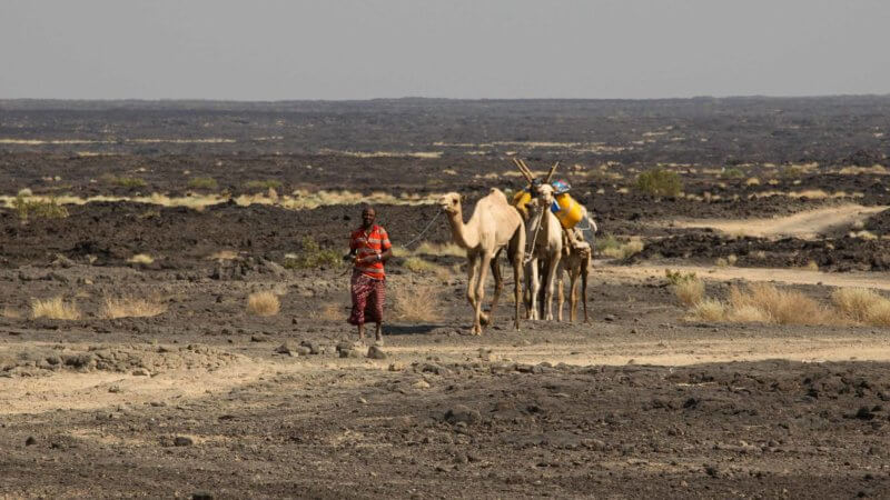 An Afar man walking across black, desolate volcanic plateau with camels.