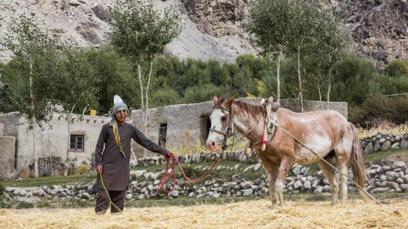 A boy wearing head scarf controls a horse that's thrashing hay.
