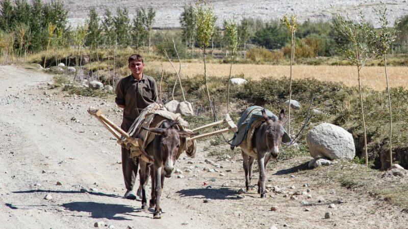 A boy walking behind two of his donkey down a dirt road in the Wakhan Corridor.