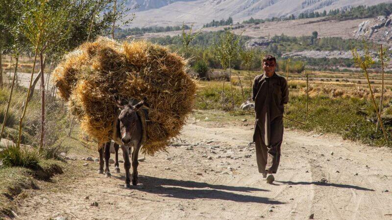 A boy walking down the road herding his hay-laden donkey.