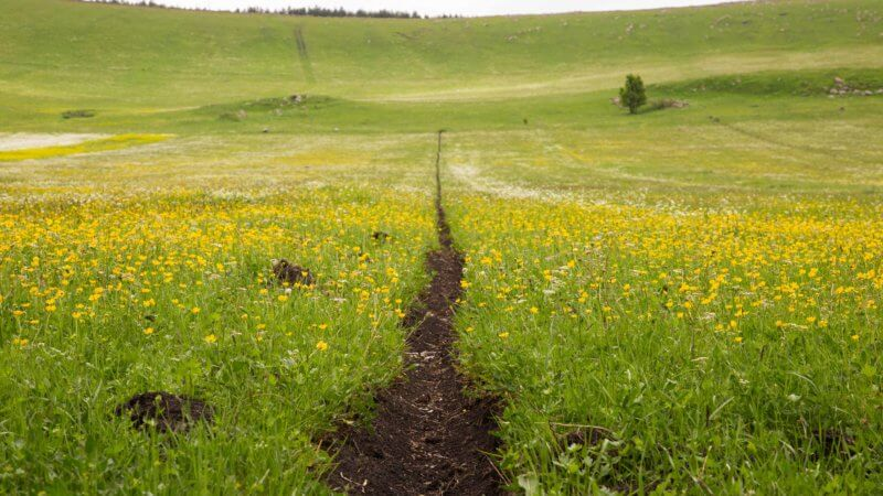 A straight dirt path cuts through a flower filled agricultural field.