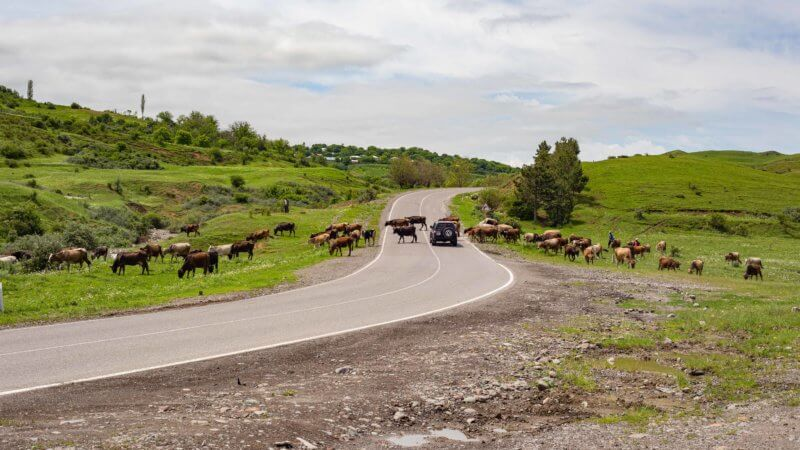 An asphalt road leading to Turkey is blocked by a herd of cows crossing the road.