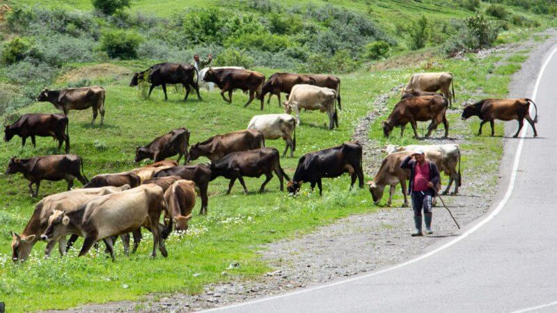 A cow herder with a stick walks down the road tending to his herd.