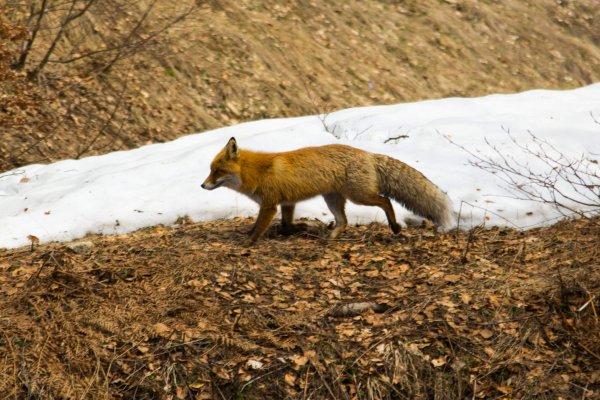 A red, bushy-tailed fox runs past the camera.